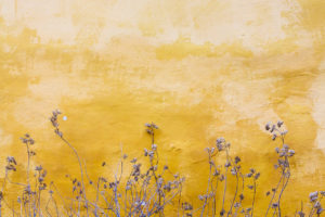 Dead flowers against a yellow painted wall